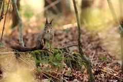 IMG_2102 (marianabmcruz) Tags: parquebiológicodegaia parquebiológico biologicalpark outdoors outdoor nature natureza animal animals fauna esquilo squirrel squirrels