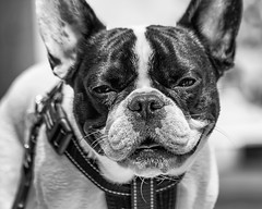 Do you remember the first time you sang? (PokemonaDeChroma) Tags: 70200mm canoneos500d dog bostonterrier portrait puteaux streetdog face blackandwhite eyes ears snout mouth collar day france bnw