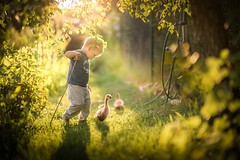 gooseherd (iwona_podlasinska) Tags: boy child light backlit geese goose gooseherd iwona podlasinska countryside farm throughherlens