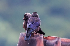 choucas des tours (Coloeus monedula) (yann.dimauro) Tags: france fr oiseau rhone rhnealpes givors ornithologie choucas choucasdestours