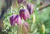 Day 113 (~ Maria ~) Tags: april springflowers sunnyday fritillary day113 2015 schachblume mariakallin fritillariameleagrisl kungsängslilja 365project vibeæg kirjopikarililja nikond800 rutelilje