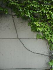 Kurvendiskussion (mkorsakov) Tags: city green wall wand ivy grn mnster innenstadt kurve efeu grnzeug curvesketching