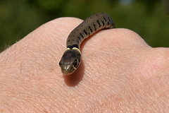 Baby Grass Snake (Natrix natrix) (Kentish Plumber) Tags: uk england baby nature countryside kent europe reptile wildlife september southeast southernengland weald 2015 grasssnake natrixnatrix nbw refugia roofingfelt