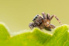 IMGP3723 (Gatapass) Tags: macro spider pentax tamron 90 dcr250 raynox k30 saltique