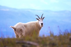 Mountain Goat (Tjflex2) Tags: mountaingoat top20travel
