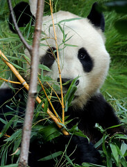 Yang Guang the Giant Panda - Edinburgh Zoo (diedintragedy) Tags: china bear blackandwhite animals zoo furry edinburgh panda bears bamboo flurry captivity pandabear wildanimals edinburghzoo endangeredanimals solitaryanimal zoologicalsociety ukpanda