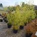 20 Yellow grove bamboo