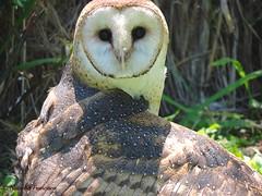 Barn Owl - Lechuza (Natacha Francisca G.) Tags: birds aves owl prey lechuza rapaces rehabilitacion tytonidae