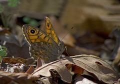 ( ) / Wall Brown / Lasiommata megera / Mauerfuchs (katunchik) Tags: butterfly bulgaria schmetterling bulgarien nymphalidae bulharsko