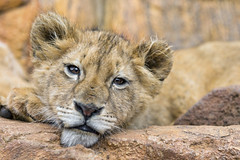 Tired lion cub...