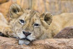 Tired lion cub...