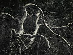Tree  .... ; (c)rebfoto (rebfoto ....) Tags: blackandwhite bw tree atthepark entangled rebfoto atbowringpark