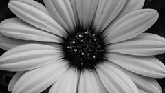 Flower  (hassanKSM) Tags: blackandwhite white black flower macro rose canon palestine       sx50 sx50hs