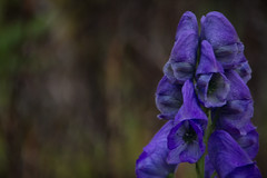 Autumn Flower (Ludvius) Tags: flower norway grimstad dmmesmoen ludovicophotography wwwludovicophotocom