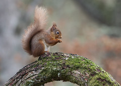 Red Squirrel (Markp33) Tags: red squirrel