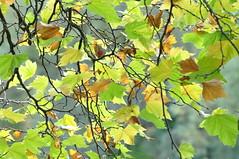 Herbst in Dublin (wuestenigel) Tags: dublin brown green pub branch herbst culture irland grn braun bltter ahorn niederlassung irlger