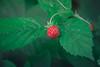 Fresa de bosque (Juanedc) Tags: red verde green rojo colorado ukraine ua ucrania carpathian frutosrojos karpathy carpatos frutosdelbosque fresasilvestre berezhnytsya