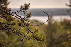Sampo branch (Andrey Chizh) Tags: mountain rain russia karelia sampo