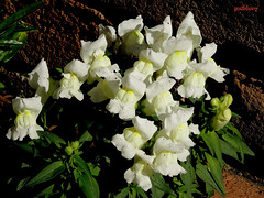Snapdragon (pat.bluey) Tags: flowers hawkesburyarea newsouthwales australia yellow snapdragon ebenezerpresbyterianchurchgrounds 1001nights 1001nightsmagiccity