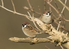 Tree Sparrow - Passer montanus (Gary Faulkner's wildlife photography) Tags: treesparrow kentbirds