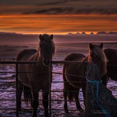 _DSC9789 (SteinaMatt) Tags: sunset horses west matt photography iceland sland icelandic steinunn hestar slsetur ljsmyndun steina vesturland matthasdttir dalabygg steinamatt