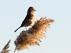 American Tree Sparrow (malarchie) Tags: jerseycity phragmite libertystatepark americantreesparrow spizellaarborea cavenpoint