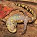 Eastern Tiger Salamander, Female