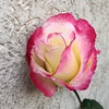Pensive Double Delight Rose (Assaf Shtilman) Tags: red white flower rose wall double delight