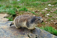 marmot (welenna) Tags: alpen alps animals tiere marmot murmeltier saasfee berge mountains mountain wallis