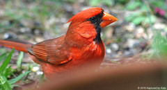 Look Who Was Behind My Flower Pot (Kaptured by Kala) Tags: cardinaliscardinalis cardinal northerncardinal red redbird garlandtexas malenortherncardinal closeup flowerpot container feeding eating outsidemywindow