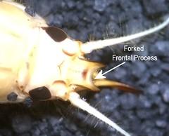 Ephemera (Allen Gathman) Tags: insects taxonomy:class=insecta aquaticentomology aquaticinsects taxonomy:family=ephemeridae taxonomy:order=ephemeroptera