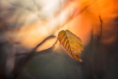 December Leaf (hploeckl) Tags: december pentacon projector projectorlens diaplan sunset leaf mood nature nikon d750 hornbeam
