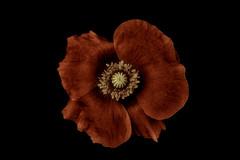 Like velvet (Funchye) Tags: poppy flower nikon d610 60mm