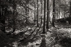 Woodland walk.... (AJFpicturestore) Tags: woods forrest windermere lakedistrict cumbria shadows trees contrejour monochrome blackwhite alanfoster