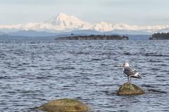 Admiring the View (David Badke) Tags: oakbay bc bird mountain ocean
