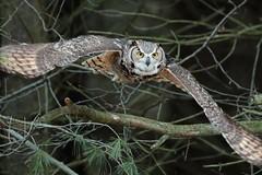 Owl flight off Branch (Radar Boy) Tags: owl eagleowl raptor canadianraptorconservancy flight birdinflight wings beak