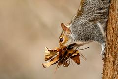 Quite A Mouthful (jwfuqua-photography) Tags: squirrels wildlife nature pennsylvania jwfuquaphotography peacevalleynaturecenter buckscounty jerrywfuqua