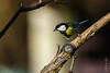DSC_0781.jpg (mrplmarie) Tags: france auvergne oiseaux hauteloire lieux mésangecharbonnière paulhaguet parusmajor