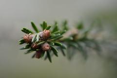 Undecorated christmas Tree (Clint__Budd) Tags: macromondays holidaybokeh