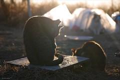 silhouette (A-yamabeno) Tags: straycat cat 猫 のらねこ 野良猫 ぬこ 冬の日 冬の日の夕方 silhouette シルエット