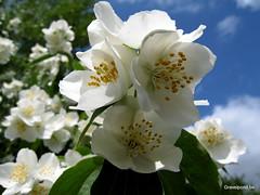 Philadelphus / mock-orange (hugogravelpond) Tags: philadelphus white scent shrub nature garden spring