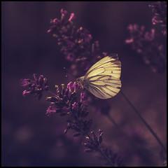 butterfly (Der Zeit die Augenblicke stehlen) Tags: blumenundpflanzen deutschland eos700d fokussiert hth56 makro schmetterling sommer thomashesse tierwelt butterfly summer