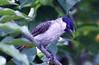 IMG_5276 - Sooty Head Bulbul (retno s) Tags: bulbul bird animal animalphotography green