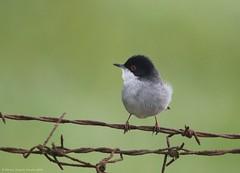 Toutinegra de cabeça preta // Sylvia Melanocephala // Sardinian Warbler (Jangada2011) Tags: toutinegradecabeçapreta sylviamelanocephala sardinianwarbler