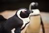 African penguin (Teruhide Tomori) Tags: africanpenguin animal bird zoo japan japon kobe kobeanimalkingdom 神戸どうぶつ王国 神戸 日本 ケープペンギン 鳥 動物園