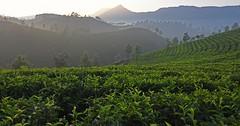 Munnar (kailas bhopi) Tags: munnar tea teaestate sunrise leaves tealeaf green india kerala nikon7200 1116mm nikond7200withtokina1116 nikon misty landscape outdoor travel tourism teagerden pointofview tokina tokina1116