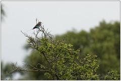 _DSC5495PJ_resultat (http://phj.bookfoto.com/) Tags: botswana philippe jubeau afrique delta okavango rollier