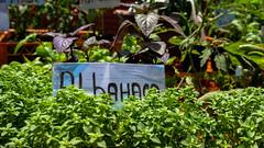 Albahaca (Samuel León M.) Tags: planta albahaca feria verduras
