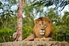 Lion (MarkusR.) Tags: mrieder markusrieder nikon vacation urlaub fotoreise phototrip usa 2015 usa2015 florida sunshinestate sonnenscheinstaat zoo miami animals tiere tier animal löwe löwen lion lions raubtiere predator predatoryanimal