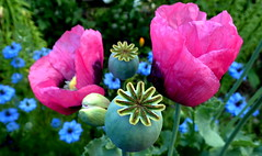 PICK a POPPY or TWO (Lani Elliott) Tags: poppy poppies flowers gardenbeds colour color colourful beautiful
